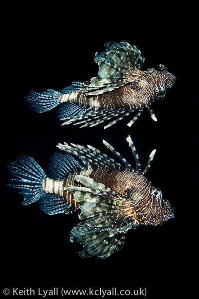 Lionfish reflection, Nuweiba pier, Egypt