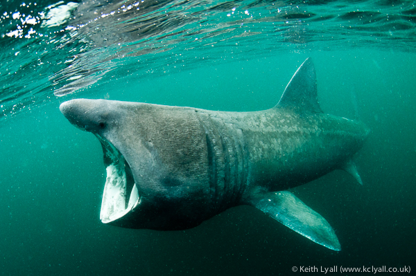 Basking Shark, Mull, Scotland