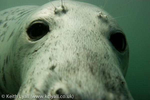 Grey Seal, Lundy, UK
