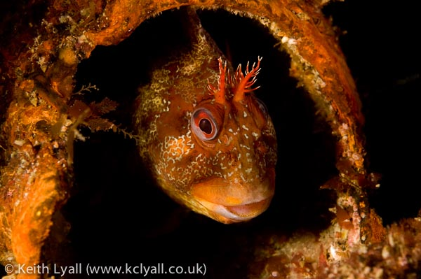 Tompot Blenny on wreck of the SS James Egan Layne