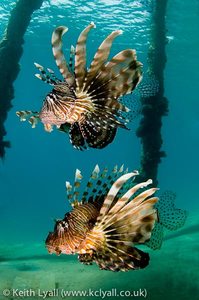 Lionfish, Nuweiba, Egypt