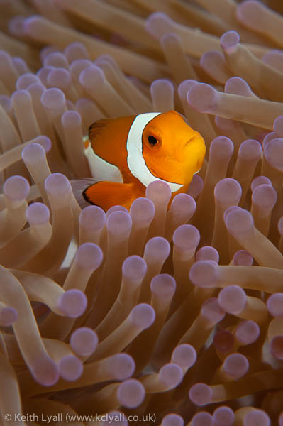 Up close and personal with an anemonefish